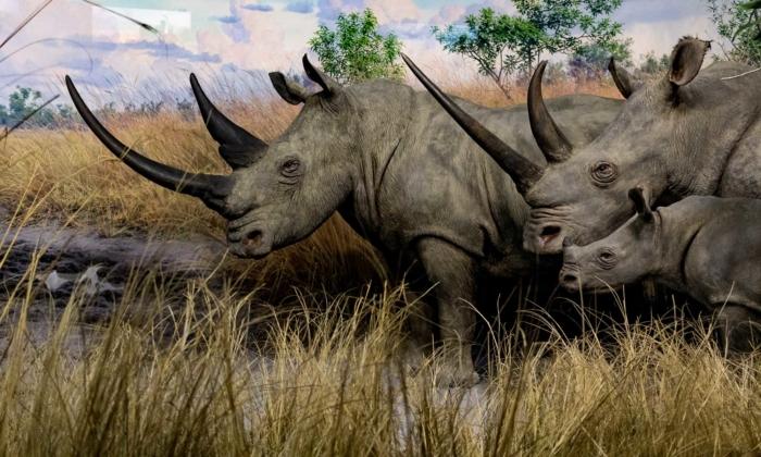 Rinoceronte Bianco Settentrinale Pasquale Sannino