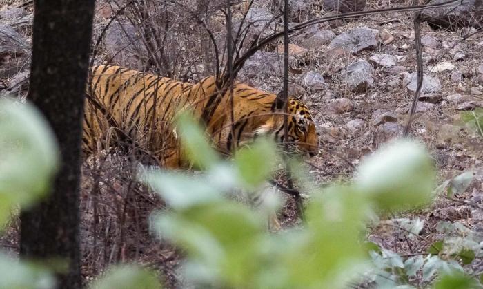 Ranthambore Tiger Pasquale Sannino